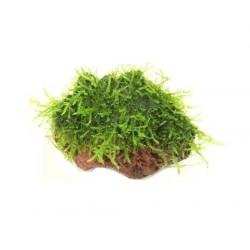 Java Moss σε πέτρα λάβα
