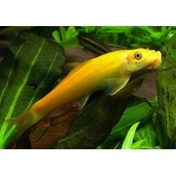 Golden Algae Eater 4-5cm