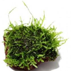 Java moss σε nano stone
