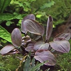 Lagenandra meeboldii Red(ΦΠ)