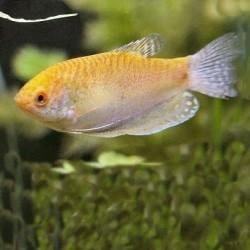 Gourami Golden 6-7cm