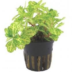 Shinnersia rivularis 'Weiss-Grun' potted