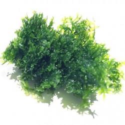 Riccardia chamedryfolia In-Vitro