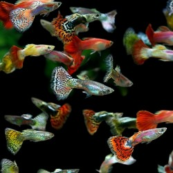Guppy Mix Male 3.5-4cm