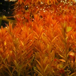 Rotala rotundifolia 'Orange Juice'(ΦΠ)
