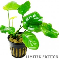 Anubias 'Golden Coin' Tropica Limited Edition potted