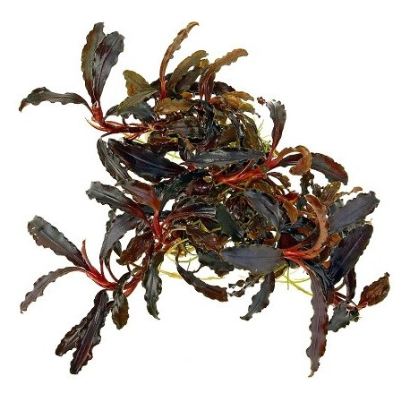 Bucephalandra 'Kedagang' potted Limited Edition