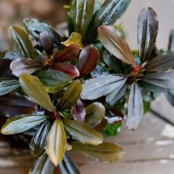 """Bucephalandra sp. """"Lamandau Mini Red"""" σε nano stone"""