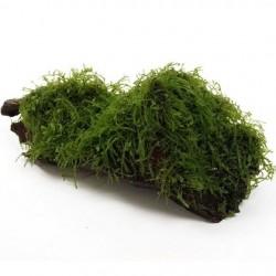Taxiphyllum Barbieri (Java moss) root