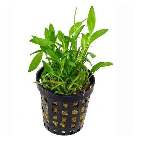 Helanthium tenellum 'parvulum' Pot