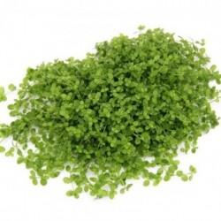 Micranthemum spec. 'MonteCarlo' 15x10cm Pad