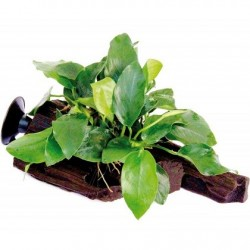 Anubias barteri var. nana on root with suction cup