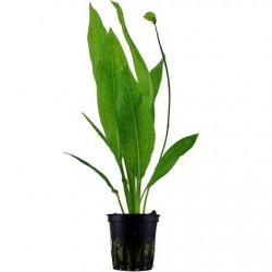 Echinodorus Bleherae pot in single package