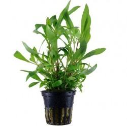 Hygrophila 'siamensis 53B' pot in single package