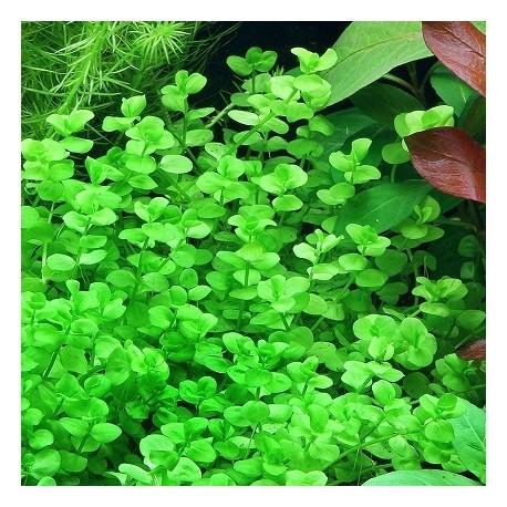 Micranthemum umbrosum(ΦΠ)