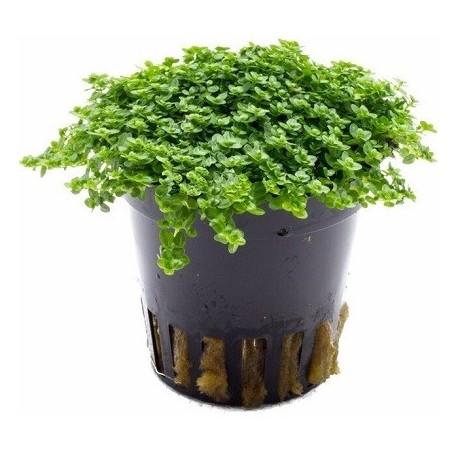 AQUAFLORA Hemianthus callitrichoides Pot