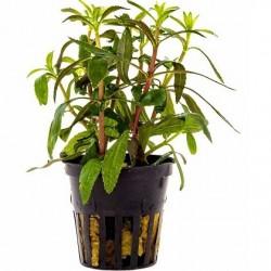AQUAFLORA Limnophila aromatica Pot