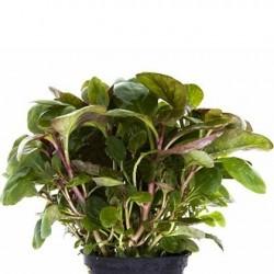 AQUAFLORA Lobelia cardinalis Mini Pot