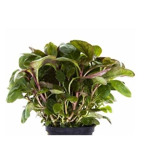 AQUAFLORA Lobelia cardinalis 'Mini' Pot