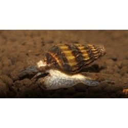 Clea (Anentome) Helena Snail 0,5-1cm