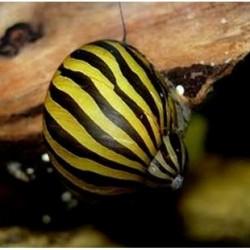 Σαλιγκάρι Zebra Nerite Snail (Neritina Natalensis) 2-3cm