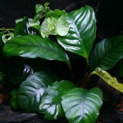 Anubias Barteri Coffeefolia σε Πέτρα Λάβας(ΦΠ)