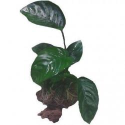 Anubias barteri caladiifolia σε Πέτρα Λάβας(ΦΠ)