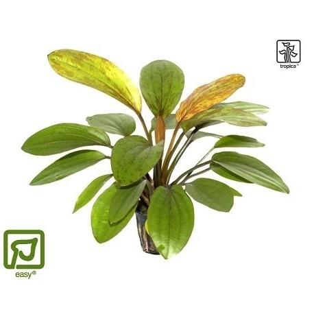 Echinodorus 'Rose' potted