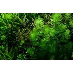 Ceratophyllum Demersum(ΦΠ)