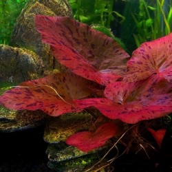 Nymphaea Lotus(ΦΠ)
