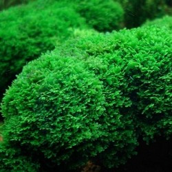 Riccardia chamedryfolia σε nano stone(ΦΠ)