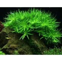 Heteranthera zosterifolia (Stargrass)(ΦΠ)