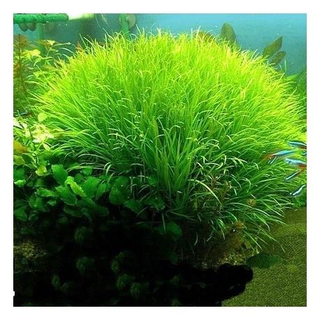 Blyxa japonica(ΦΠ)