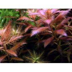 Proserpinaca palustris Cuba(ΦΠ)