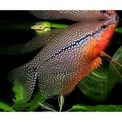 Gourami Pearl (Trichopodus Leerii) 7-8cm