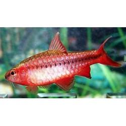 Cherry Barb (Barbus Titteya) 3-4cm