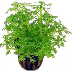 Hottonia palustris Pot