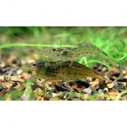Γαρίδα Japonica Amano Shrimp (Caridina Japonica) 3-4cm