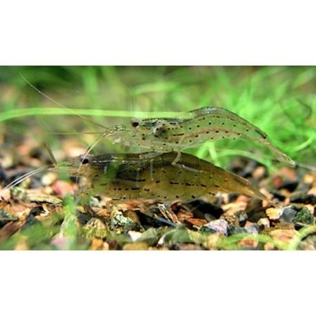 Γαρίδα Japonica Amano Shrimp (Caridina Japonica) Large
