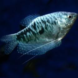 Gourami Blue 5-6cm