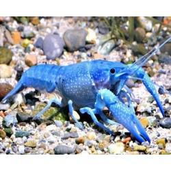 Αστακός Cobalt Blue 3-4cm