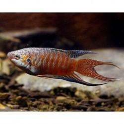 Gourami Paradise 5-6cm (Macropodus Opercularis)