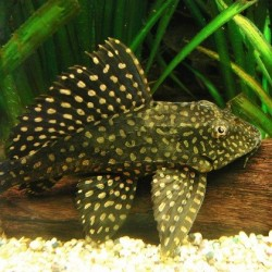 Plecostomus Orange Spot Sailfin 6-7cm