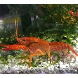 Αστακός Red 5-6cm
