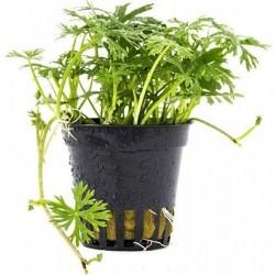 AQUAFLORA Ranunculus inundatus Pot