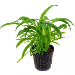 AQUAFLORA Cryptocoryne albida (costata) Pot