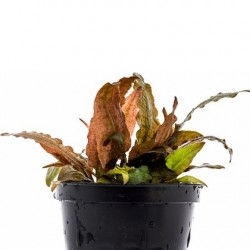 AQUAFLORA Cryptocoryne Petchii Pink Pot