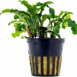 AQUAFLORA Bucephalandra motleyana Melawi Pot