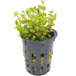 AQUAFLORA Rotala sp. Pearl Pot