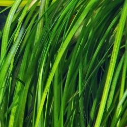 Vallisneria spiralis tiger(ΦΠ)